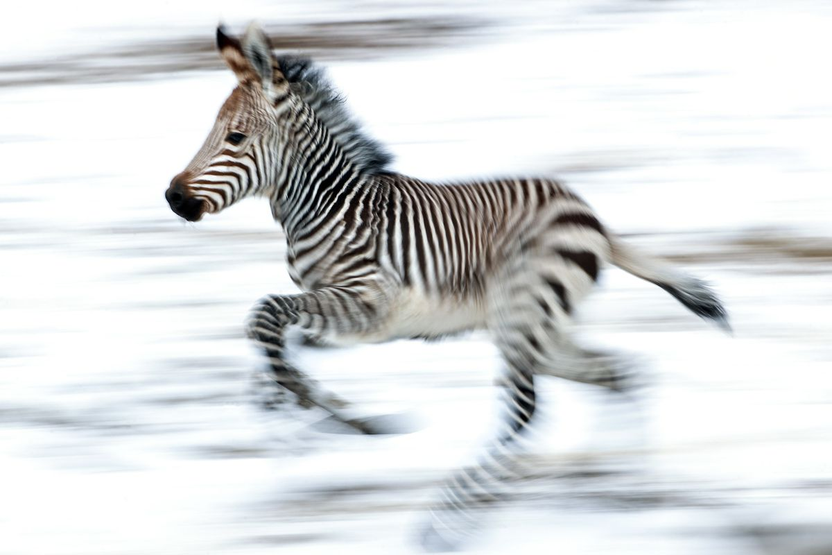 A 2-week-old Hartmann's mountain zebra races around the African Savanna exhibitat Utah's Hogle Zoo in Salt Lake City on Thursday, Jan. 28, 2021. The male zebra was born Friday, Jan. 15, and with the help of his mother, who cleaned and coaxed him, he was standing on his own within 30 minutes and awkwardly walking shortly thereafter. The zoo is encouraging the community to help name him by going to the zoo's Facebook page.