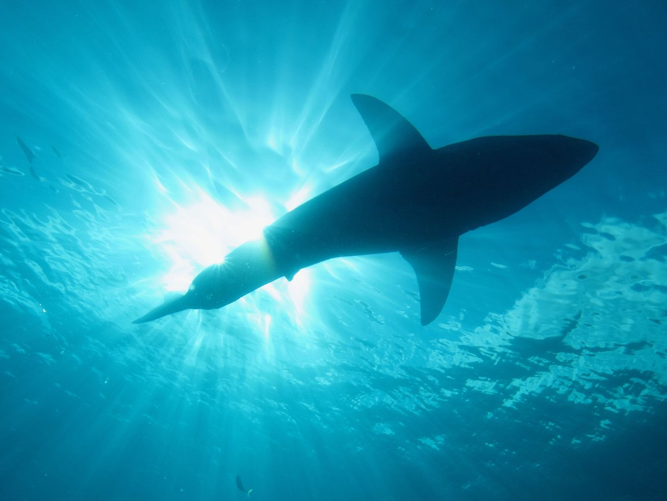 Sharks that can walk exist, and scientists discovered 4 new species of them near Australia