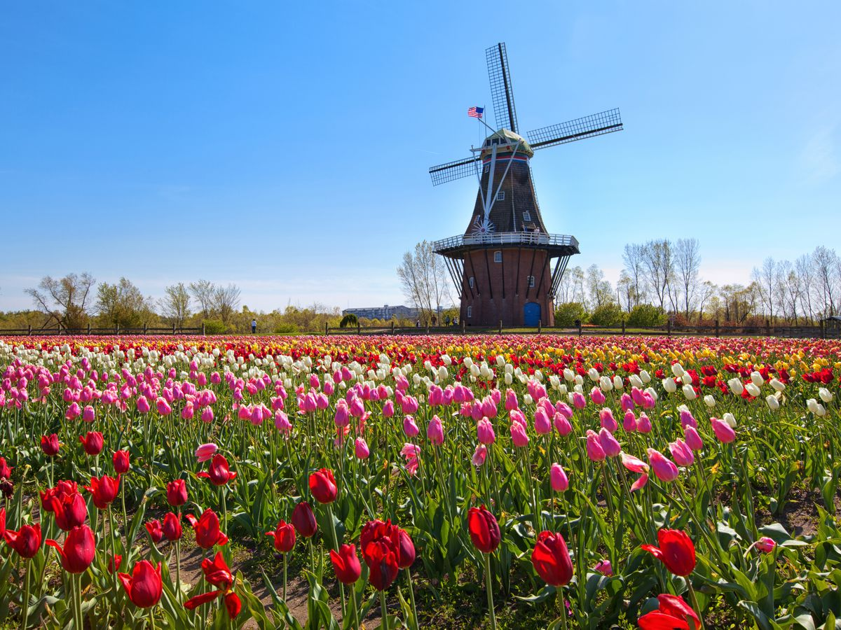 A field of pink, red and white tulips in front of a large wooden windmill