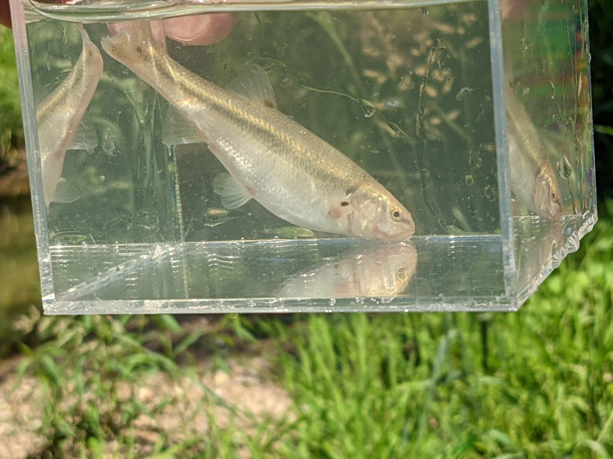 A brook chub in a well, a better way to photograph fish during micro-fishing.  Credit: Dale Bowman