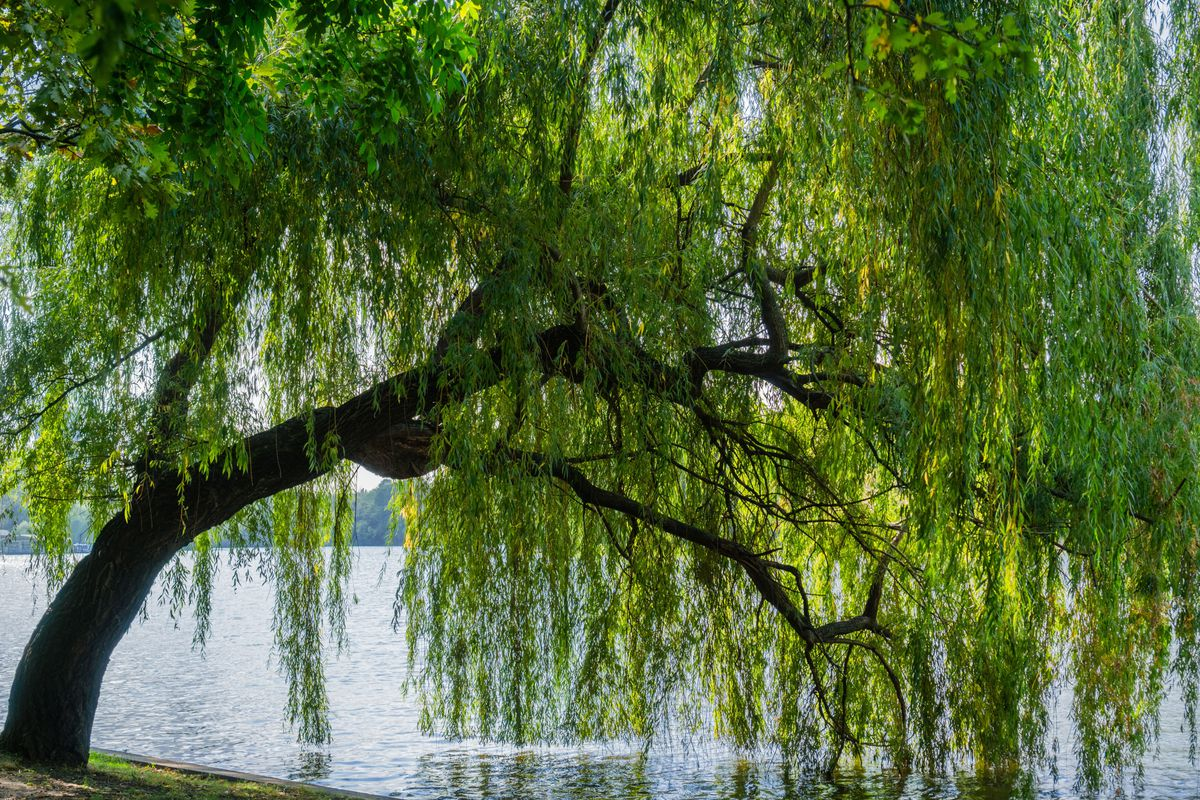 Everything You Need To Know About Weeping Willow Trees This Old House
