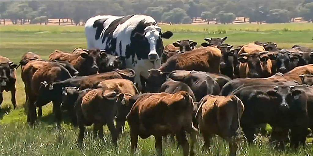 6 Sports Knickers The Giant Cow Would Dominate Sbnation Com