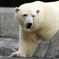 """Ahpun, a female polar bear, strolls around her cage at the Alaska Zoo on Wednesday, Sept. 5, 2012, in Anchorage, Alaska. The bear is one of two candidates for zoo """"president"""" in a fundraiser that matches the timing of the U.S. presidential race. She's running against Denali, a wolf, and ballots are $1."""