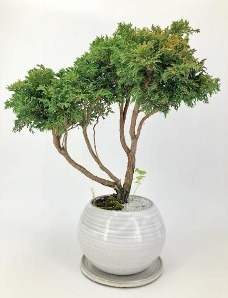 Marge The Hinoki Cypress Large 325 Dandy Farmer