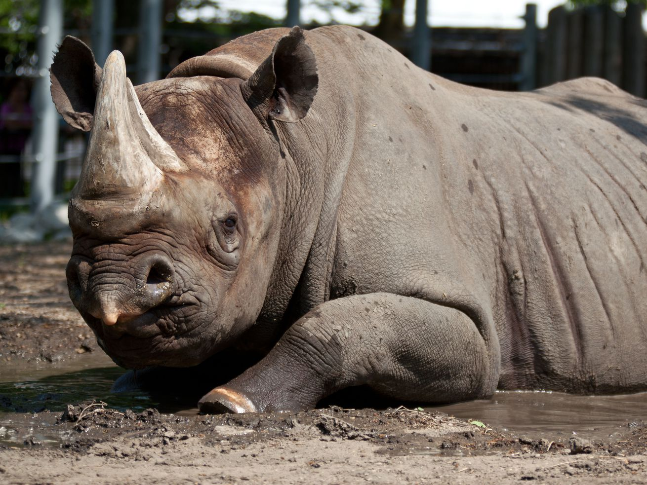 Second-oldest eastern black male rhino in North America dies at Lincoln Park Zoo