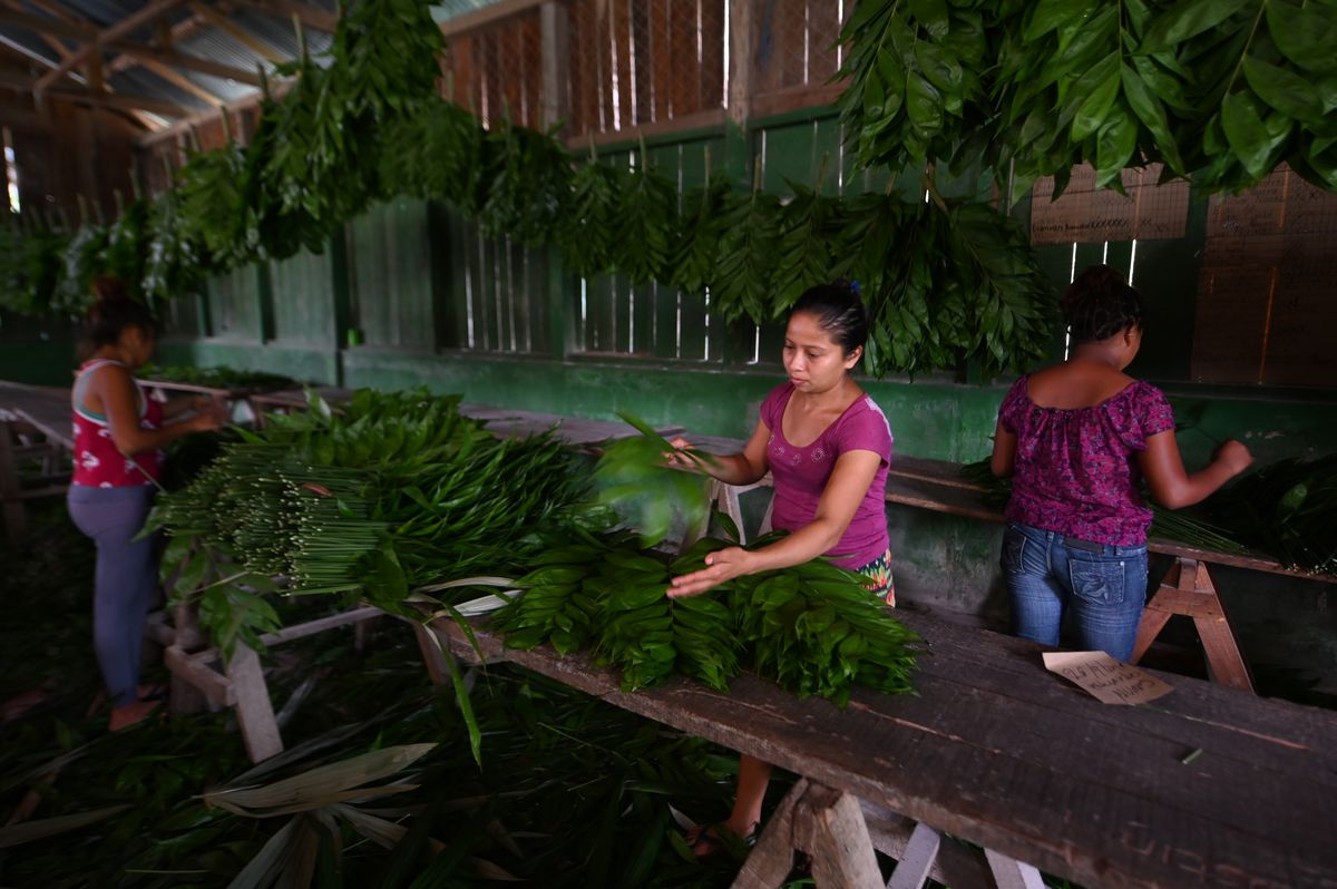 Women combing through leaves of the xate plant.