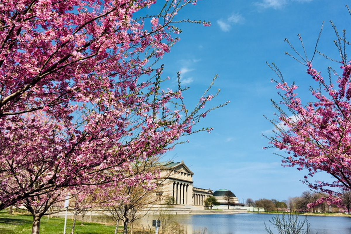 Chicago Cherry Blossom 2019 Peak Bloom Expected In Mid May Curbed