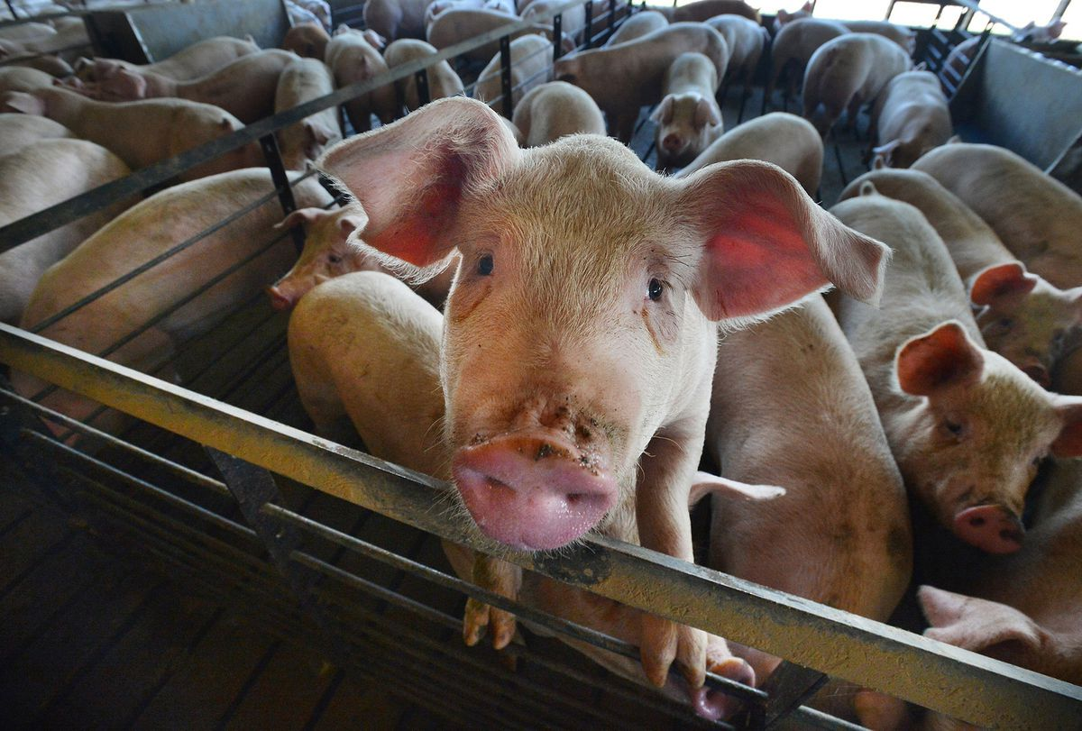 Young pig looks directly at the camera from within a pen full of pigs.