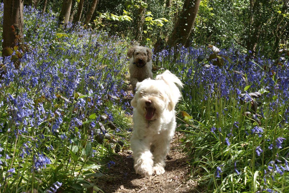 Two dogs running through woods full of bluebells, Cornwall