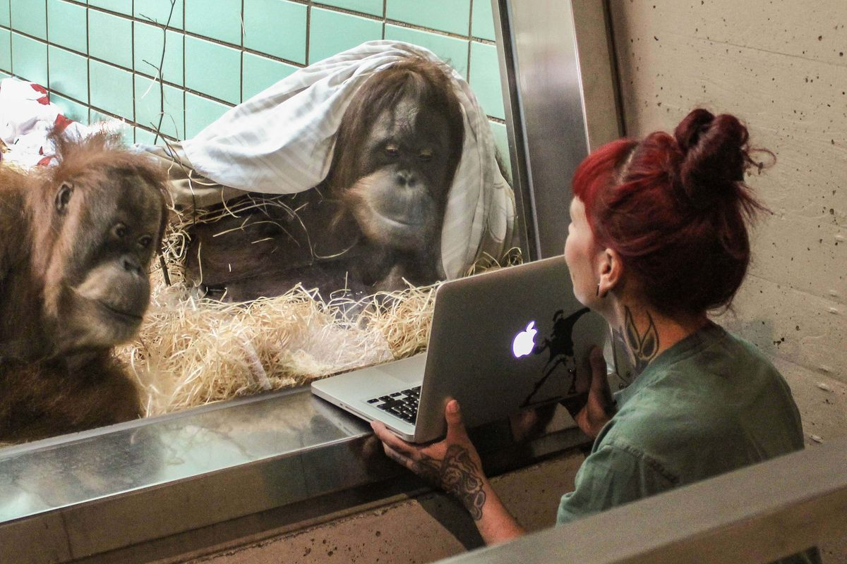 From behind a glass wall, a zookeeper shows a laptop screen to two orangutans.
