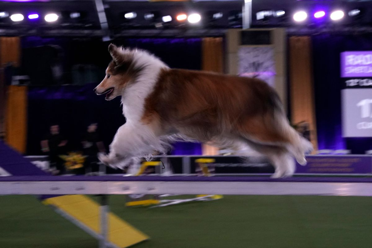 A Shetland Sheepdog during the 8th Annual Masters Agility Championship at the 145th Annual Westminster Kennel Club Dog Show on June 11, 2021 at the Lyndhurst Estate in Tarrytown, New York.