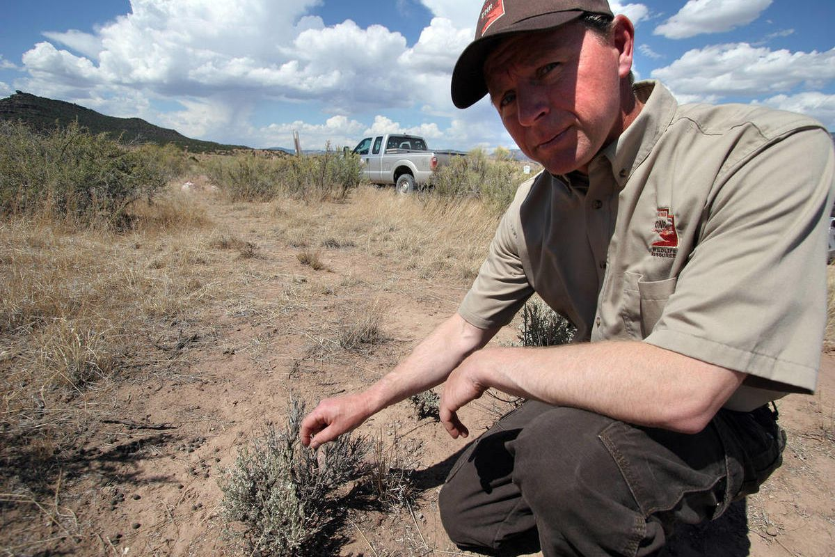 Utah Division of Wildlife Resources biologist Lowell Marthe shows some of the damage that has been done to the plants in Browns Park, Daggett County, by drought conditions and overgrazing by deer looking for food. The area serves as winter range for as ma