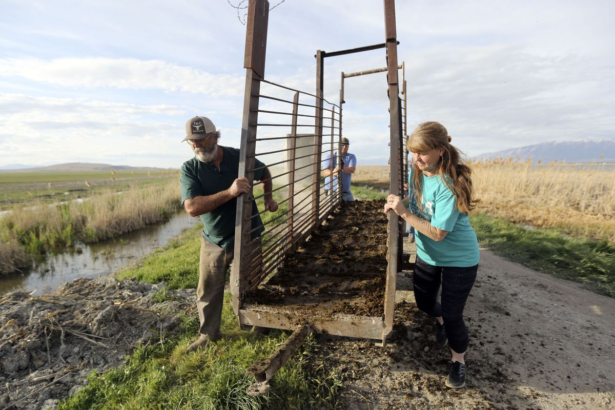 Ray Hancock, Joe Myers and Cindy Hancock move a ramp after using it to unload cattle from a truck for Myers Ranch and Hancock Farms in the Ogden Bay Waterfowl Management Area on Monday, April 27, 2020.