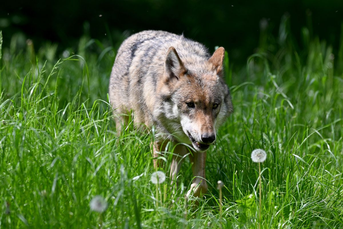 Wolf in the Eekholt Game Park