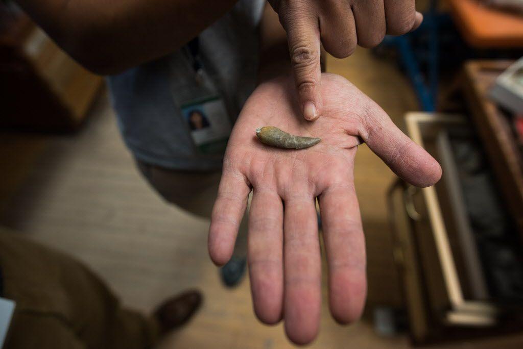 Akiko Shinya displays a tooth of a Cryolophosaurus found in Antarctica.