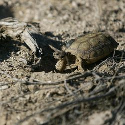 ADVANCE FOR WEEKEND, SEPT. 29 AND THEREAFTER - In this photo taken Friday, Sept. 21, 2012, a newly-released desert tortoise walks along exploring its new habitat at the Nevada National Security Site in Mercury, Nev.
