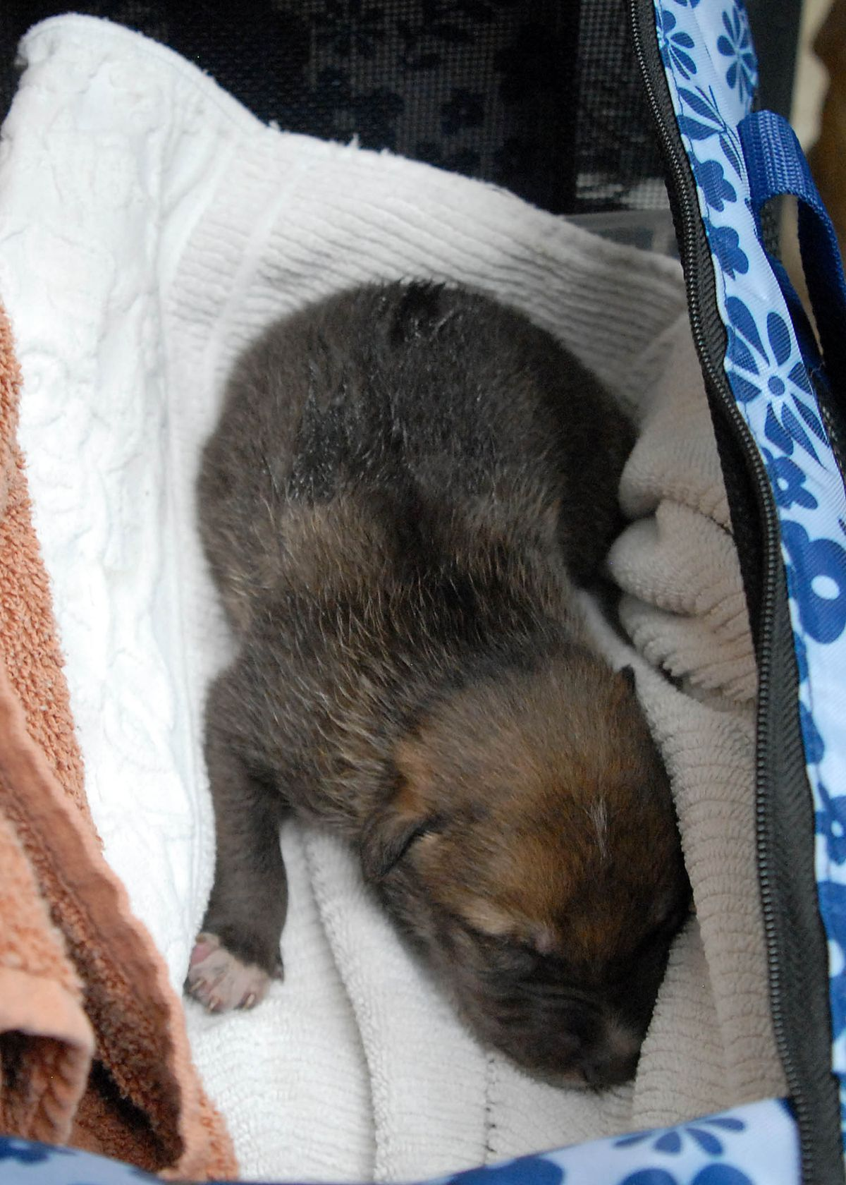 Blaze, a Mexican gray wolf puppy born at Brookfield Zoo, prior to his trip across country to be placed with the Arizona-based Elk Horn Pack of wild wolves as part of the Mexican Gray Wolf Recovery Program. | Chicago Zoological Society