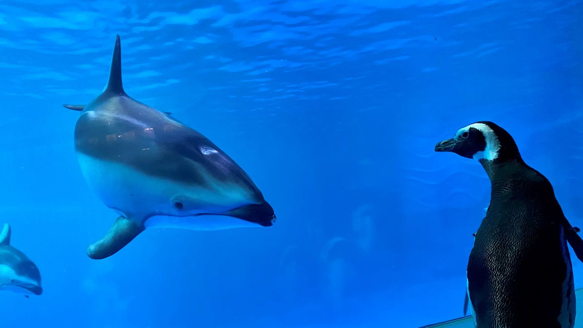 a penguin looks at a dolphin in a tank