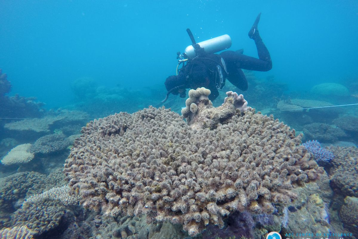 Coral reefs are bleaching way more frequently because of