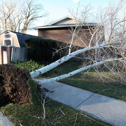 A tree downed by the wind in Farmington, Thursday, Dec. 1, 2011.