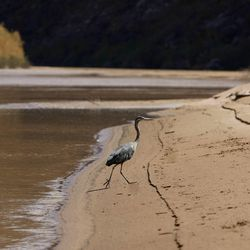 A Great Blue Heron walks along the shore of the  Colorado River in Cataract Canyon in southern Utah, July 28,  2008.