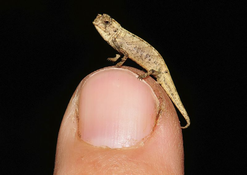 A thumbnail-sized chameleon resting on top of a finger.