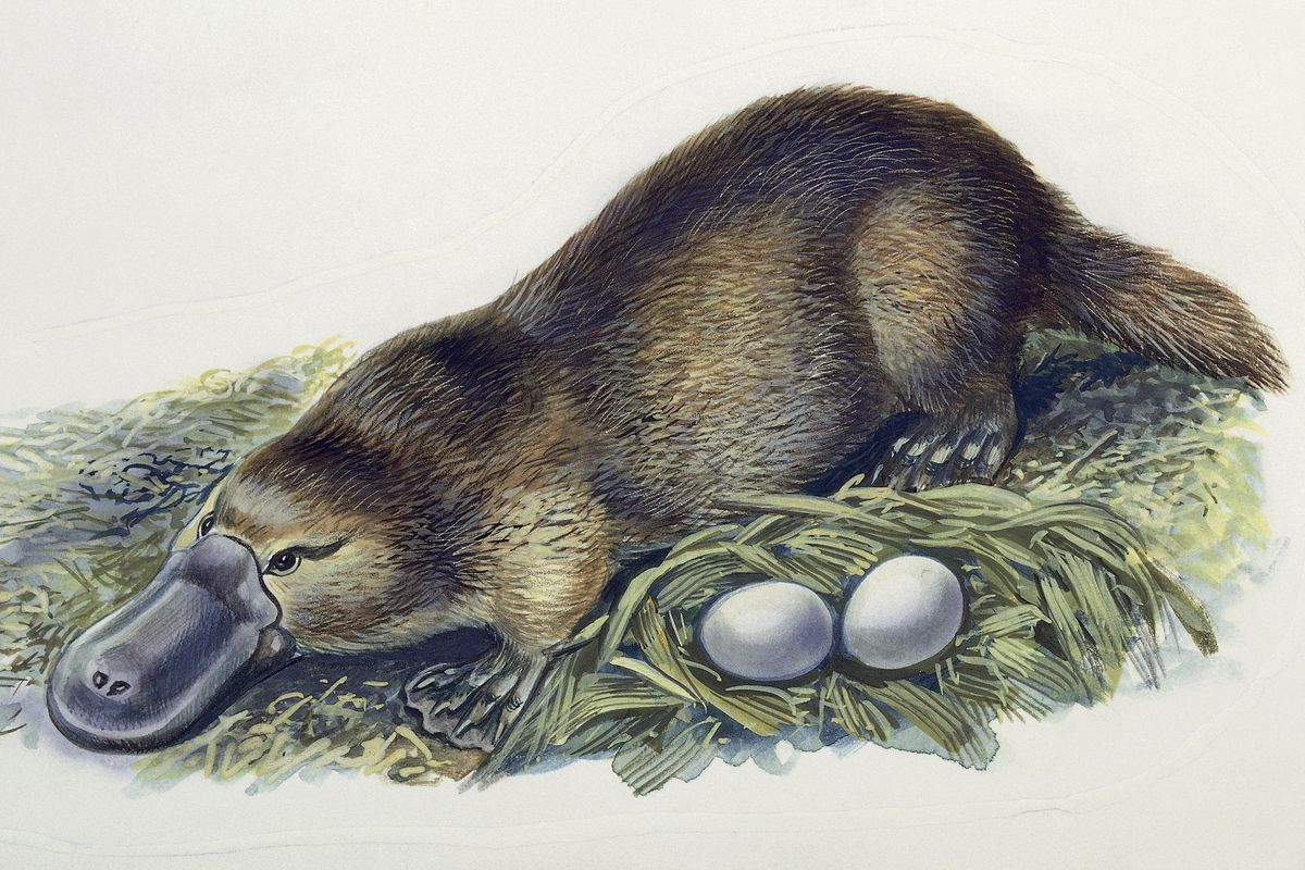 Close-up of a female duck-billed platypus with two eggs (Ornithorhynchus anatinus)