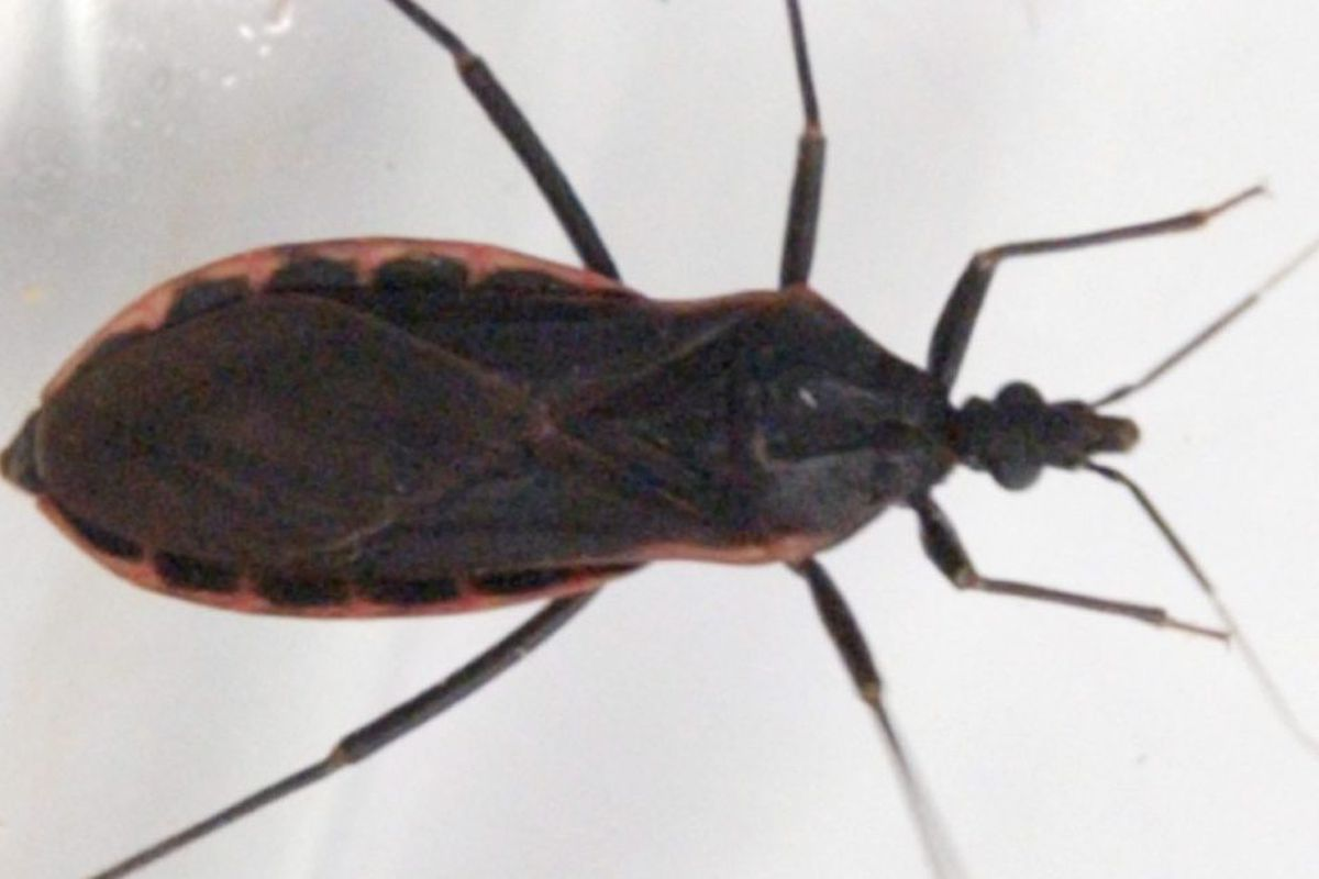 Kissing bug' carrying fatal disease reported in Illinois