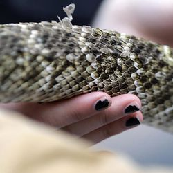 A visitor touches the scales of a rattlesnake at the Capitol, Monday, Feb. 2, 2015, in Austin, Texas. Members of the Sweetwater Jaycees brought rattlesnakes to promote their annual rattlesnake round-up and help educate visitors.