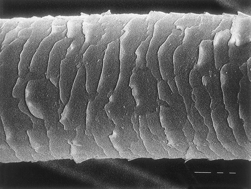 microscope hair