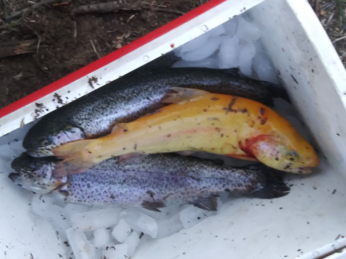The trout catch by Bob Derzinski and son Jim included a golden rainbow trout. Provided by Bob Lubek