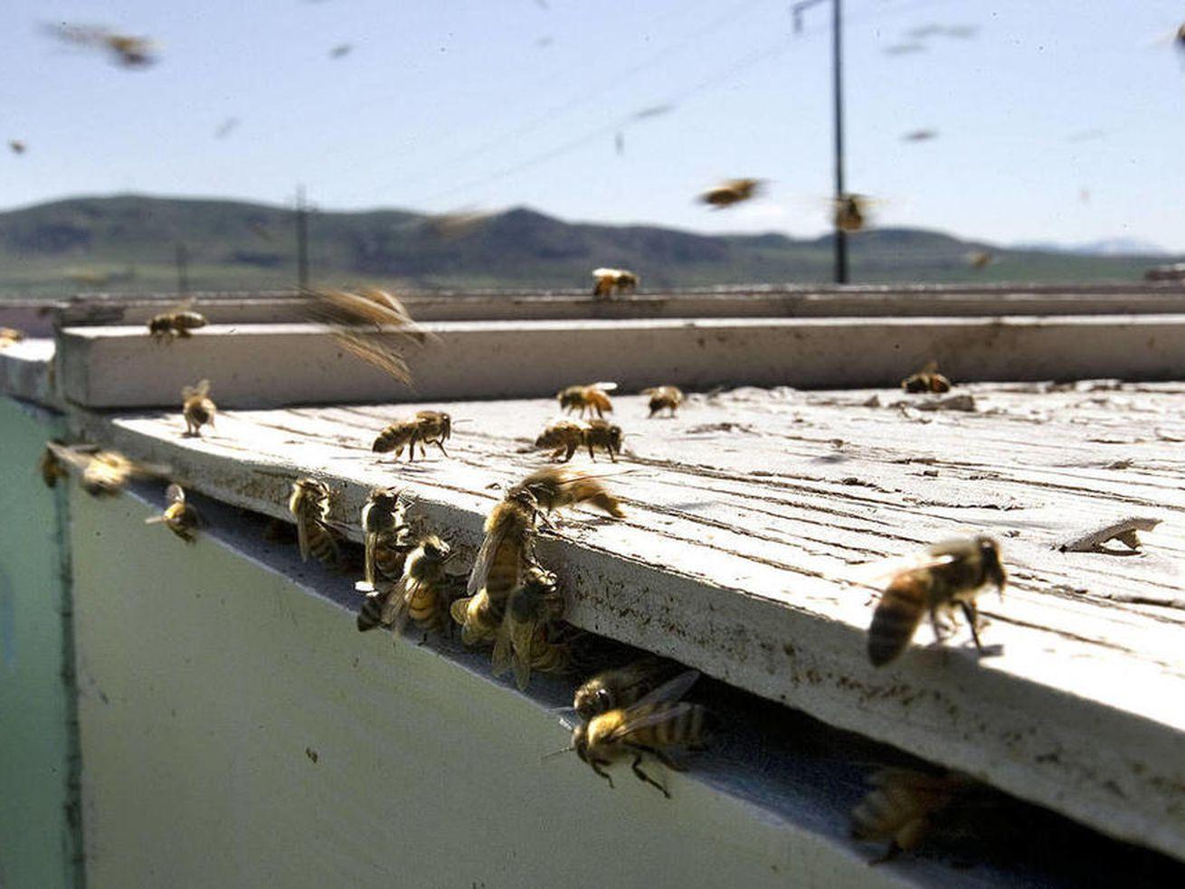 How almond milk kills bees