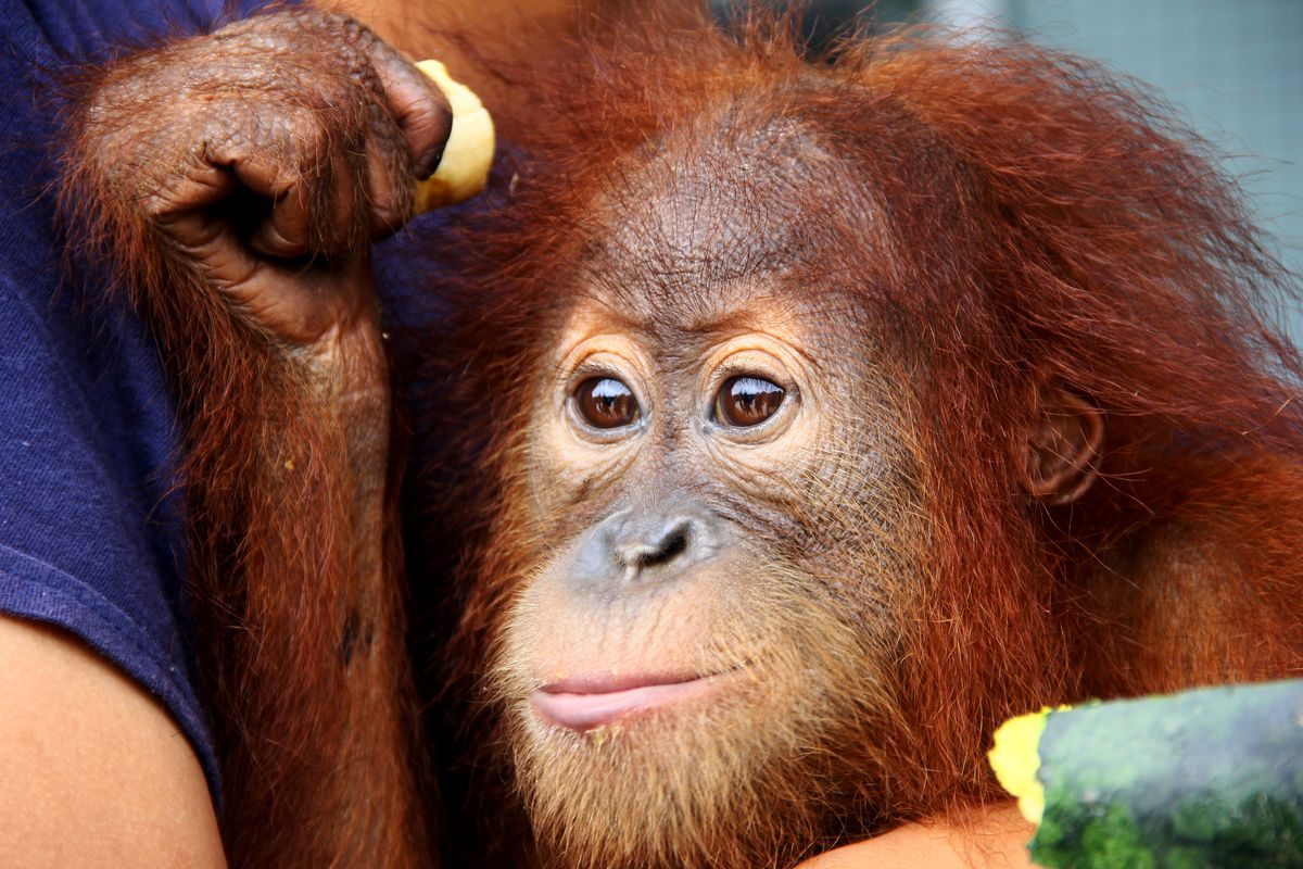 An officer of the forest protection and nature conservation from the environment and forestry ministry holds an orangutan baby (pongo abelli) in Pekanbaru, on March 21, 2020, after being rescued from smuggling attempt using inter-city bus, as a cargo.