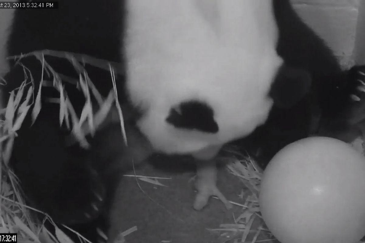 panda birth