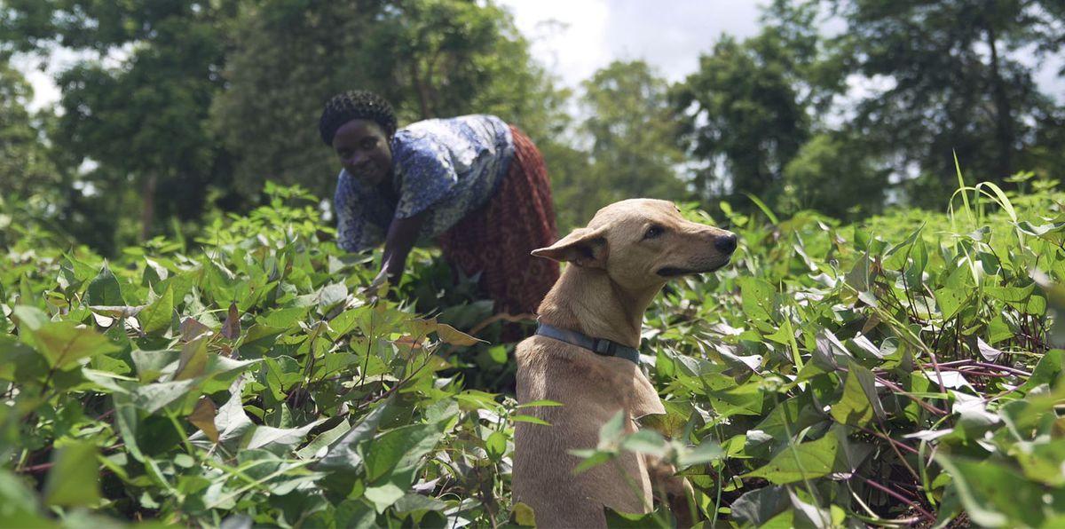A Ugandan village picks vegetables alongside her dog