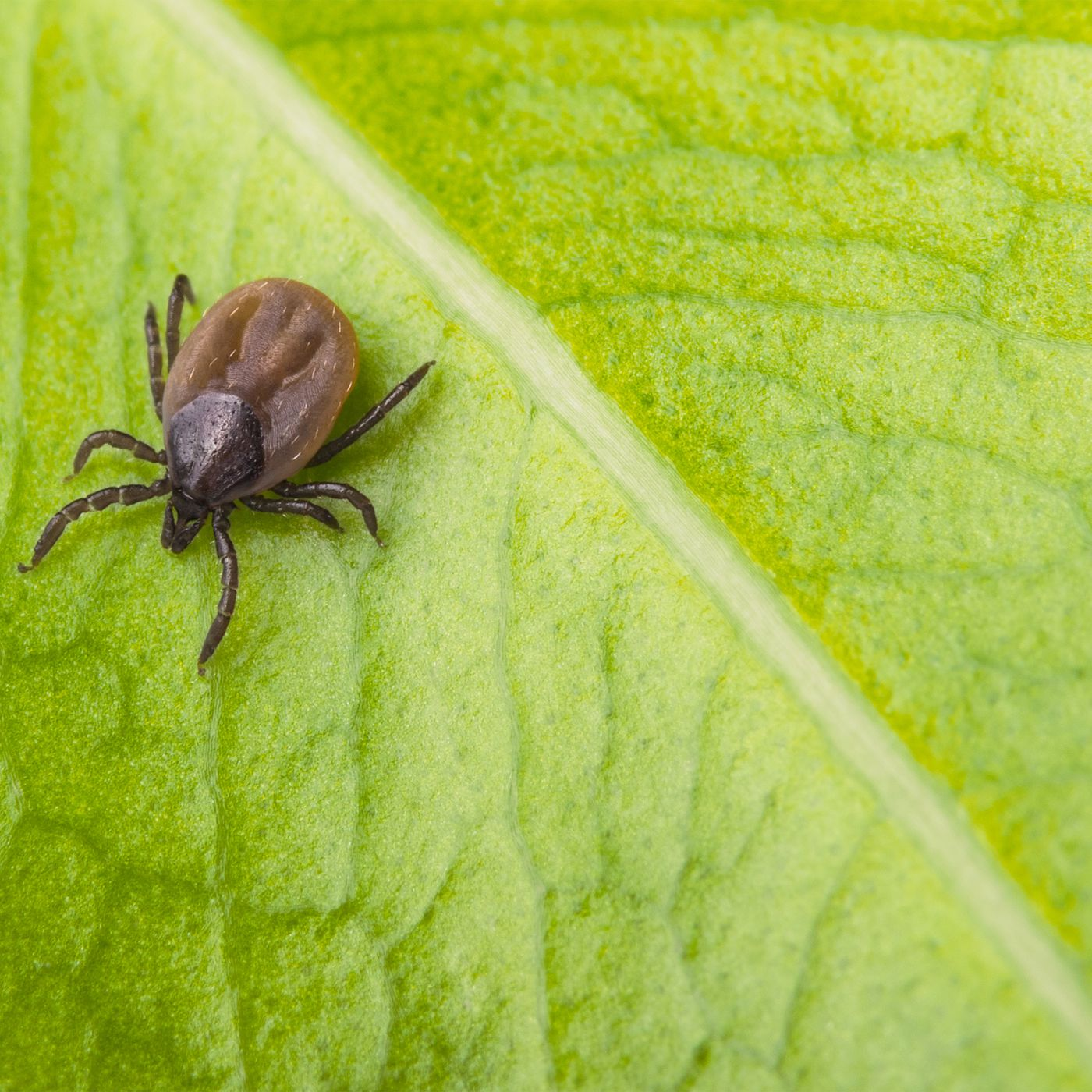 Ticks Vs Bed Bugs Differences Similarities This Old House