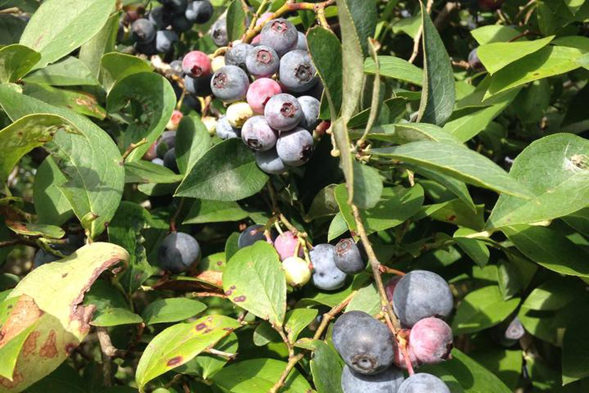 """""""Blueberry Bush At <a href=""""http://www.moorheadsblueberryfarm.com"""">Moorhead's Blueberry Farm</a>"""""""