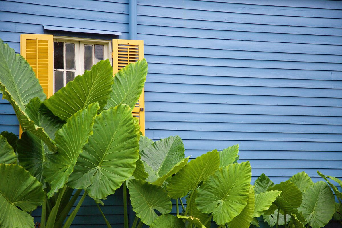A blue house with yellow shutters and big green leafy plants.