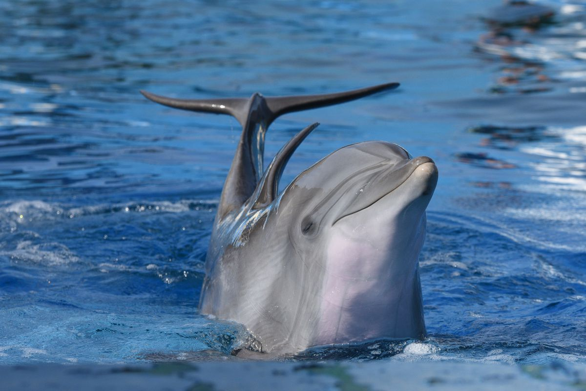 A common bottlenose dolphin is seen during a show at the...