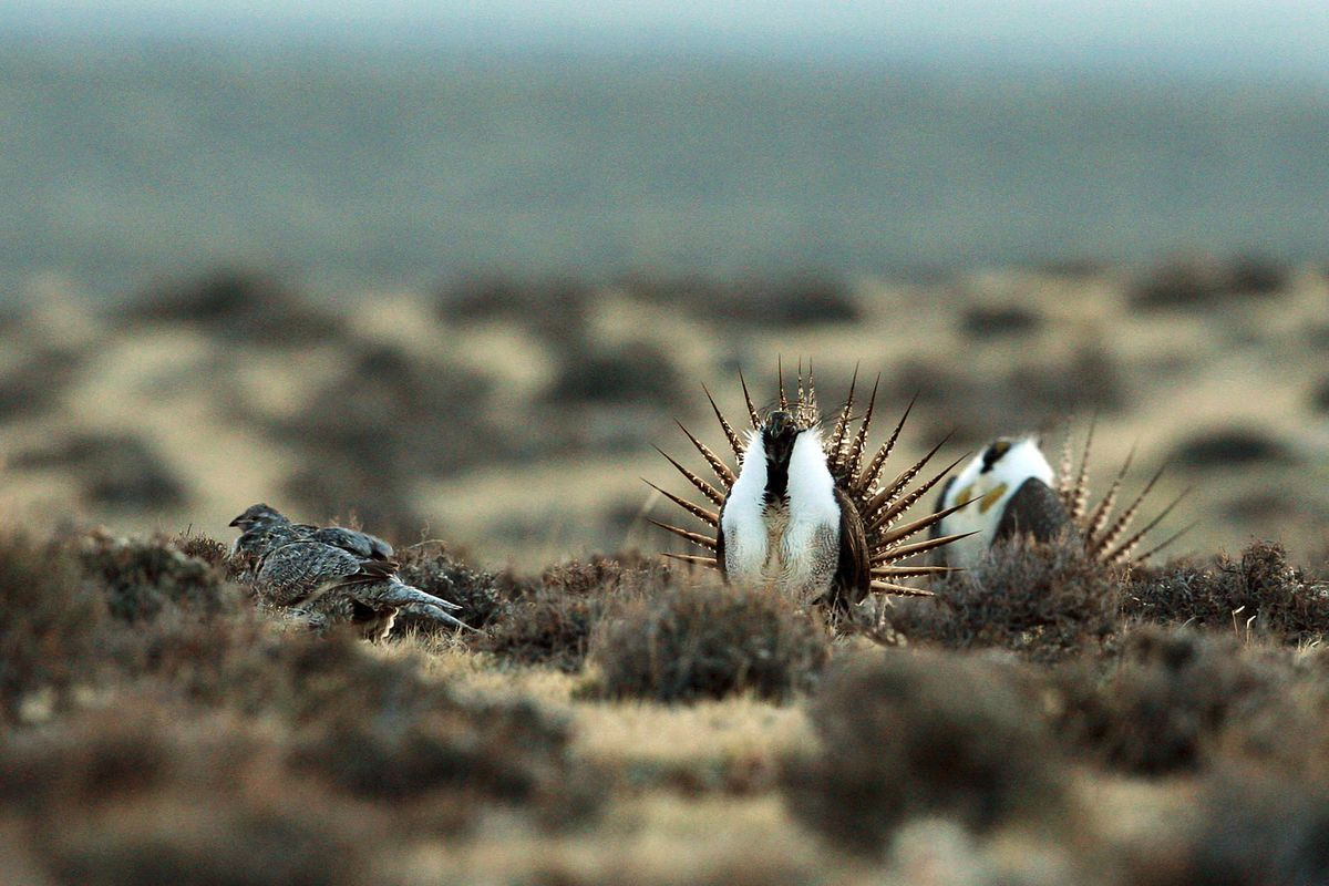 FILE - This April 10, 2014, file photo shows a male sage grouse trying to impress a group of hens, at left, near the base of the Rattlesnake Range in southwest Natrona County, Wyo. The U.S. Forest Service is changing sage grouse protection plans in five W