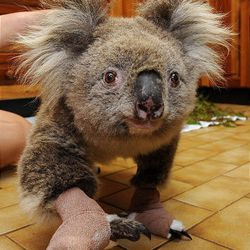 Sam the koala is treated at the Mountain Ash Wildlife Center in Rawson, Australia, last February as she recovers from burns suffered in devastating wildfires. Sam, made famous when her image being fed water by a firefighter was widely published, was euthanized Thursday after a veterinarian found the cysts that threatened her life were inoperable.