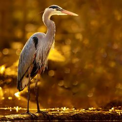 A great blue heron at LaBagh Woods in Chicago.