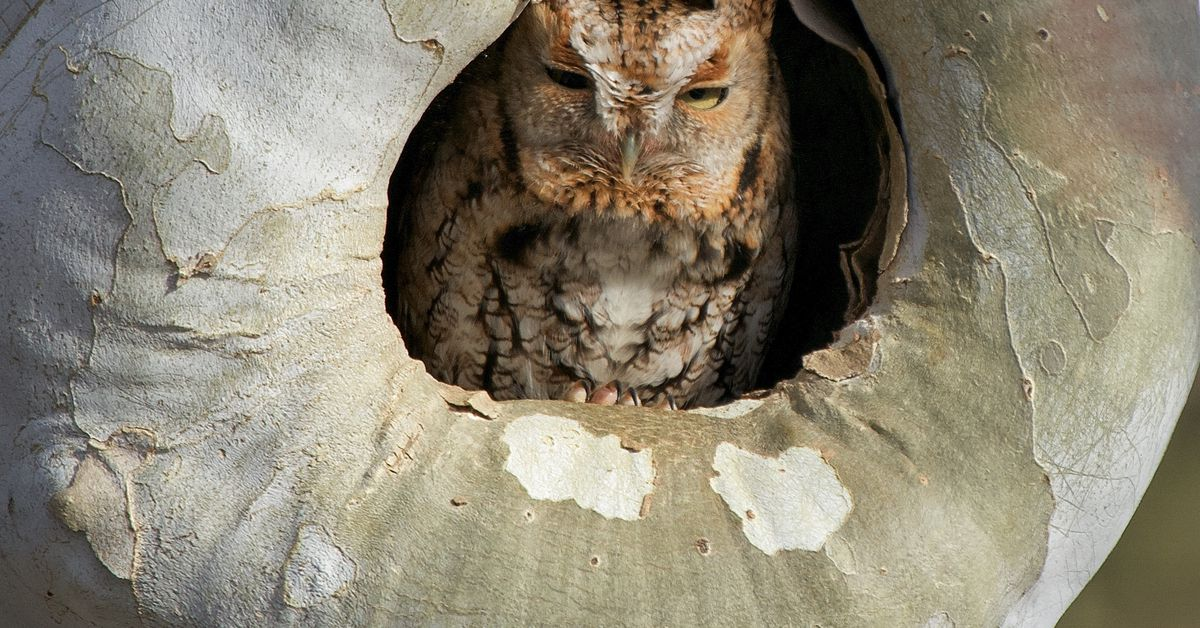 Chicago outdoors: Poppee Matan, screech owl, daffodils and big Indiana Chinook