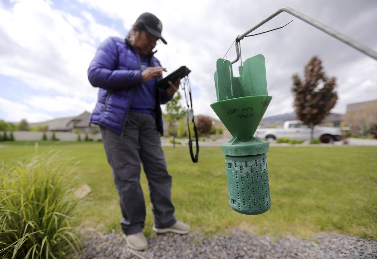 Sharon Gilbert, a technician with the Utah Department of Agriculture, sets a trap for Japanese beetles and records its GPS location in Herriman on Thursday, May 14, 2020.