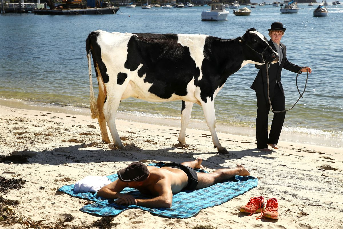 Surrealist Artist Releases Dairy Cows Into Sydney Surf