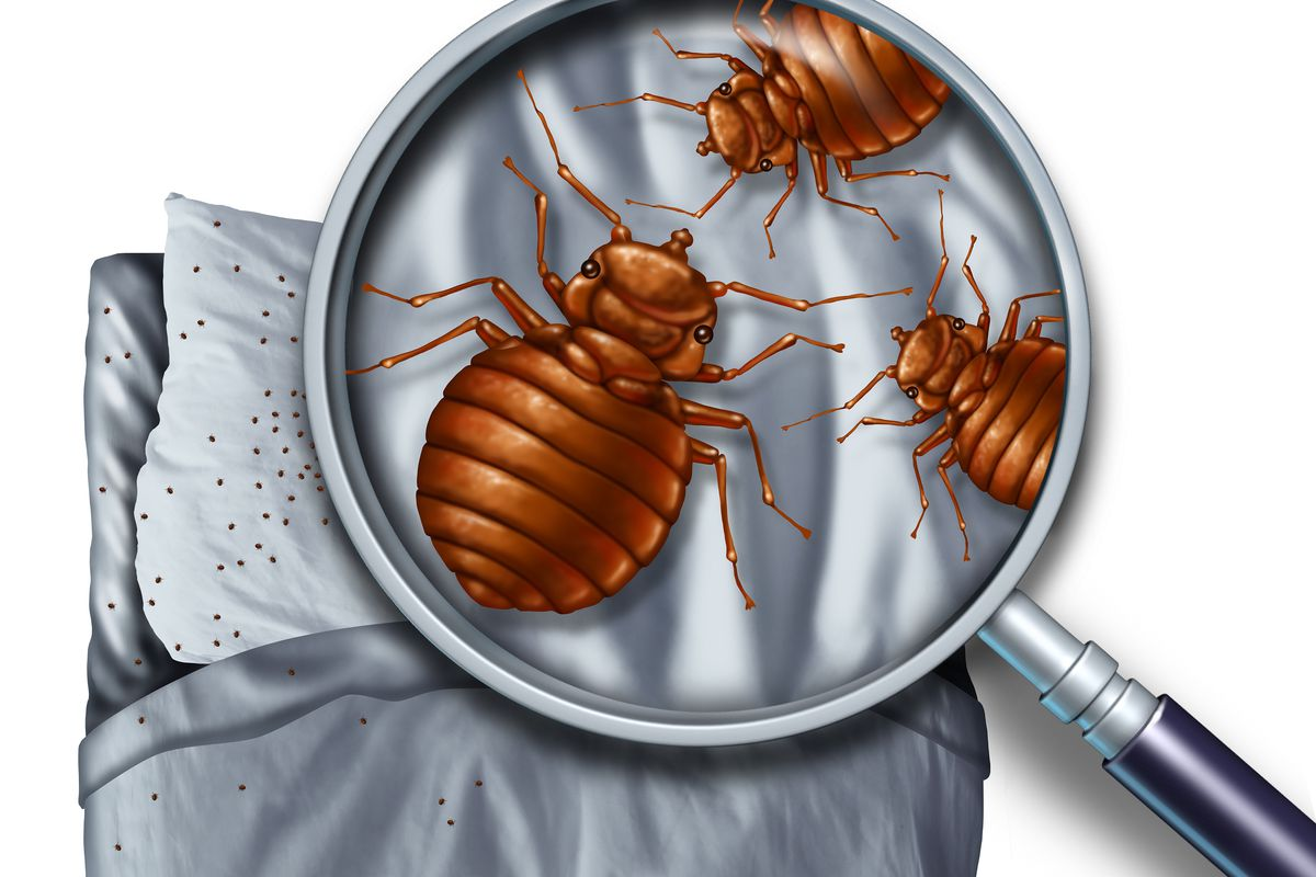 Image result for Bed Bug Exterminator NYC Characteristics