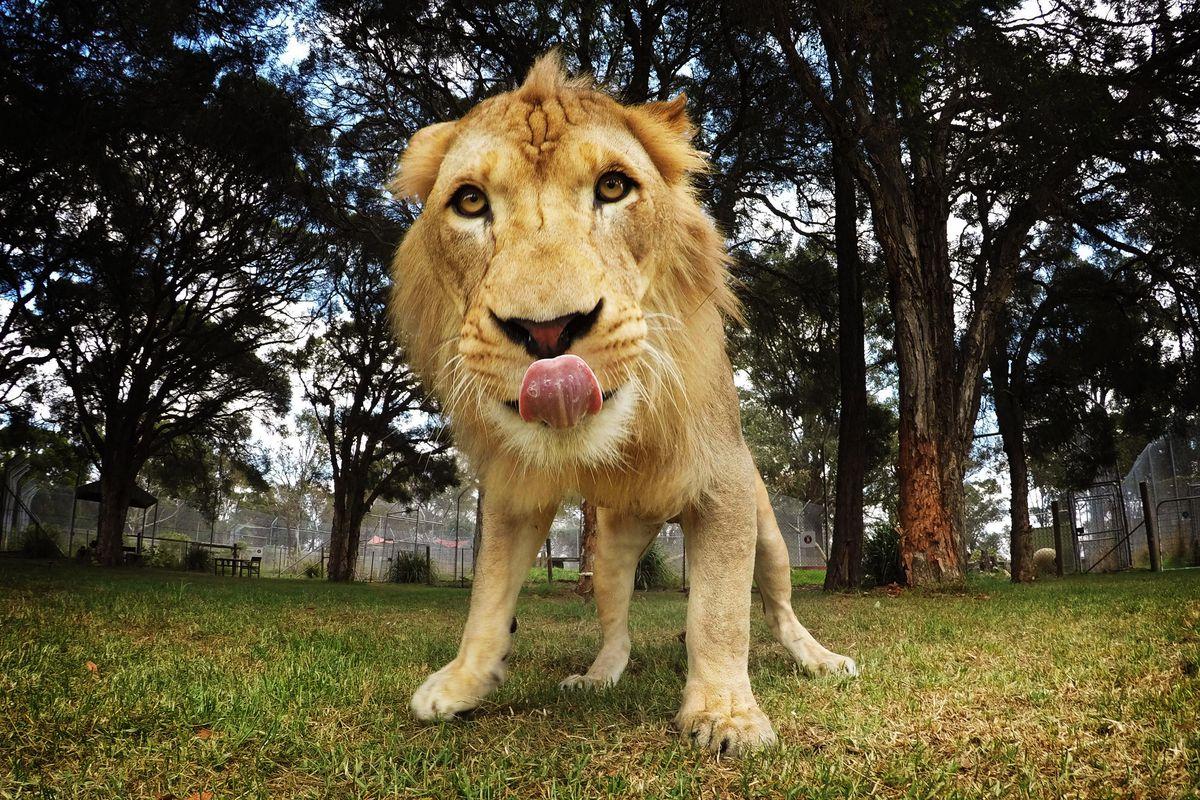'Kibulu' The African Lion