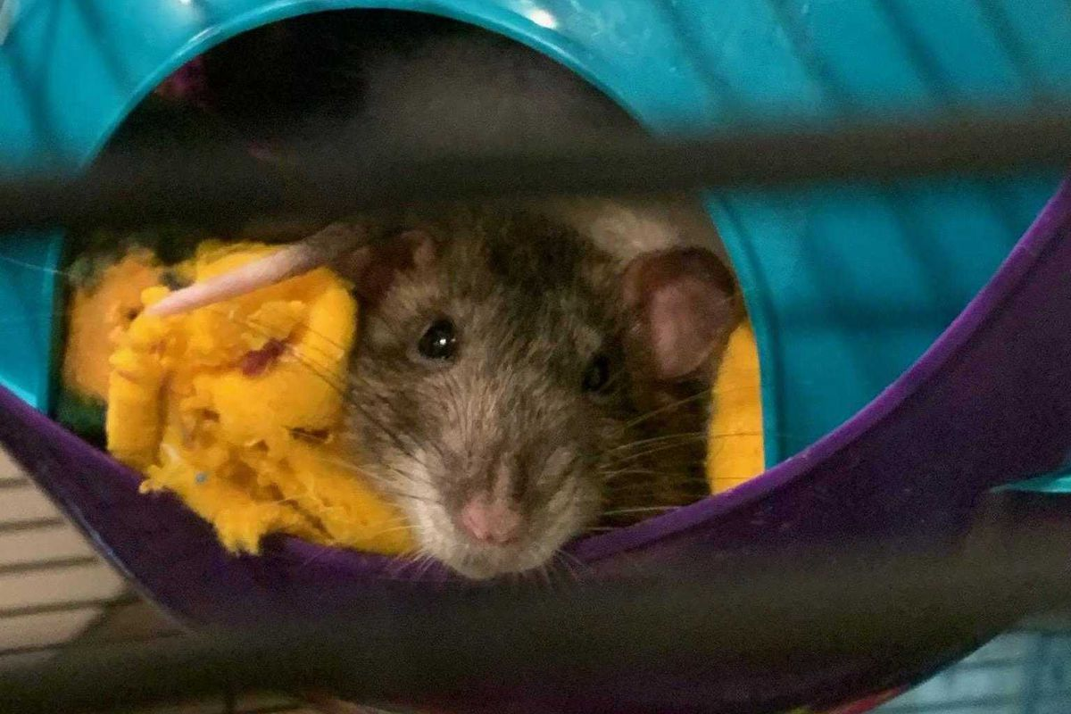Here is one of the two rats that are now in a Chalkbeat editor's care after coronavirus-related school closures left the class pets stranded.