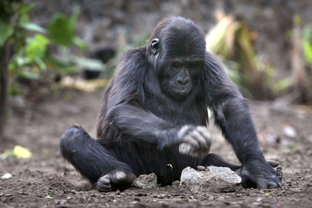 Congo Battles To Save Wildlife After Years Of War And Poaching