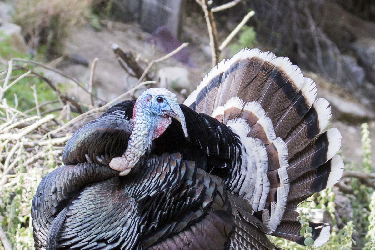 Wild Turkey male (tom) displaying